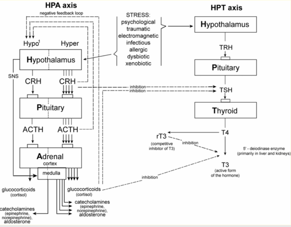 Thyroid hormones and adrenals